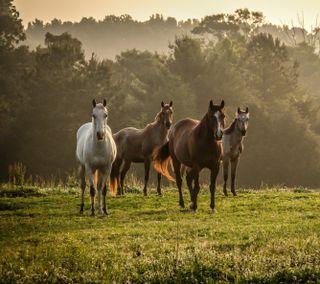 Обои на телефон туман, трава, прогулка, лошадь, лошади, дерево, herd