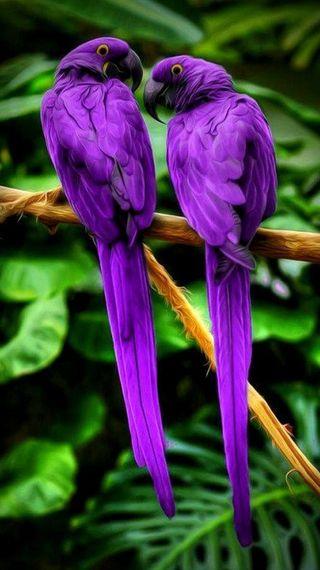 Обои на телефон попугаи, друзья, фиолетовые, природа, purple parrots, parrtos