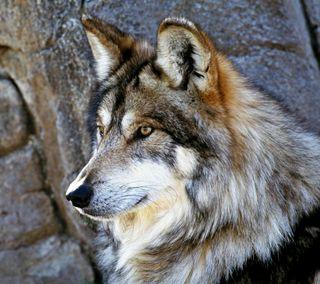 Обои на телефон хищник, охотник, дикие, животные, волк