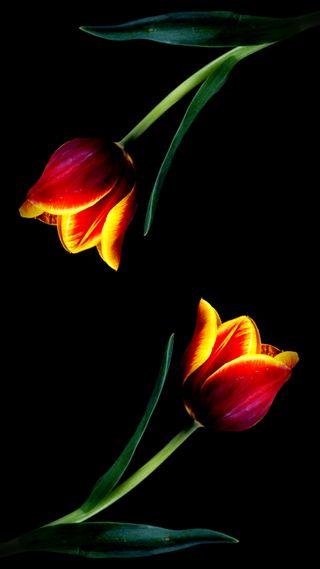 Обои на телефон тюльпаны, красые