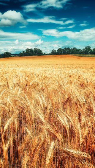 Обои на телефон пшеница, природа, поле, пейзаж