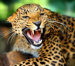 Обои на телефон леопард, природа, животные, дикие, взгляд