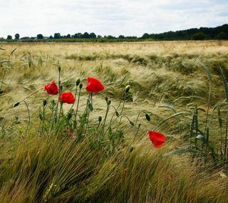 Обои на телефон цветы, пшеница, природа, поле, мак, nature field