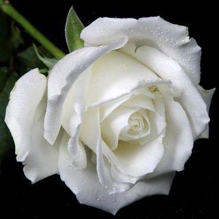 Обои на телефон растения, цветы, цветочные, розы, любовь, белые, scent, purity, love