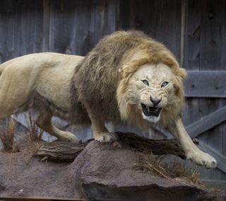 Обои на телефон лев, картина, зоопарк, злые, животные, perfect, in zoo