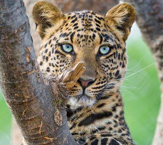 Обои на телефон леопард, природа, прекрасные, коты, животные
