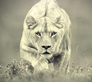 Обои на телефон охота, лев, lioness