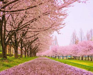 Обои на телефон цветение, вишня, цвести, поле, лес, дорога, деревья, весна