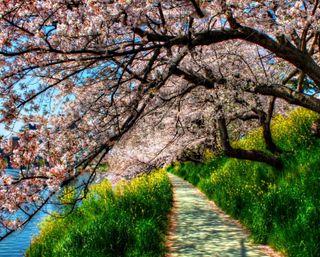 Обои на телефон вишня, цветы, цвести, дерево