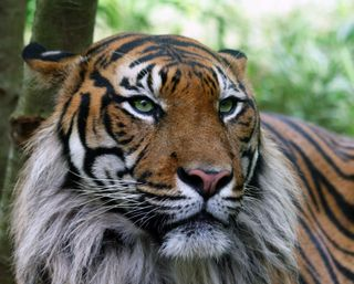 Обои на телефон джунгли, японские, тигр