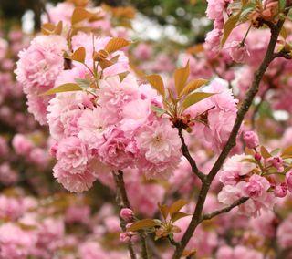 Обои на телефон сакура, цветы, природа, osaka sakura