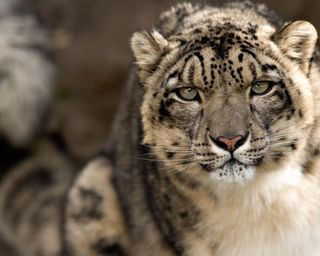 Обои на телефон леопард, лев, кошки, животные, дикий