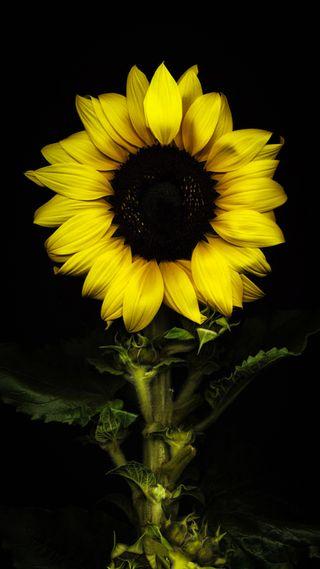 Обои на телефон подсолнухи, желтые, цветы