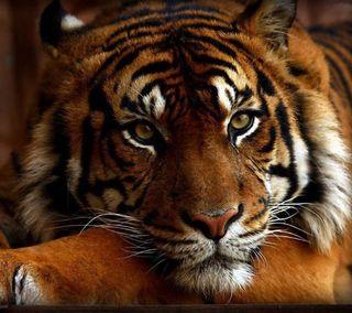 Обои на телефон тигр, прекрасные, beautiful tiger, 2160x1920
