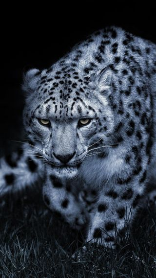 Обои на телефон леопард, снег, животные