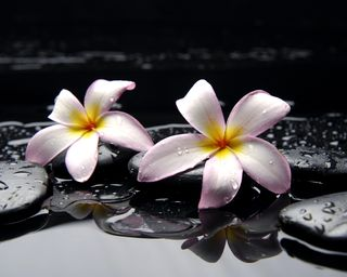Обои на телефон камни, цветы, прекрасные, plumeria frangipani, frangipani