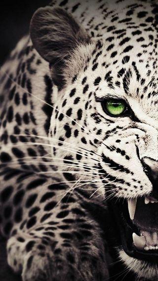 Обои на телефон леопард, злые, зверь