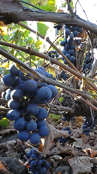 Обои на телефон смартфон, румыния, виноград