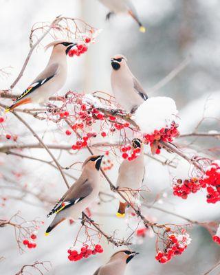 Обои на телефон погода, снег, птицы, зима, waxwings feeding