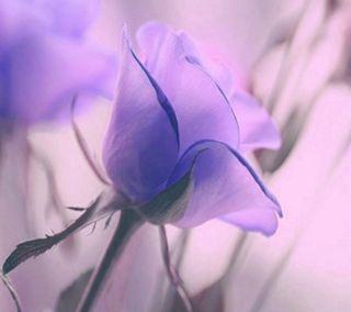 Обои на телефон лепестки, цветы, фиолетовые, приятные, природа, новый, естественные, stem