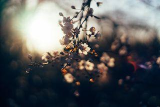 Обои на телефон вишня, цветы, цвести, расцветает, природа, листья, закат, дерево, bo0keh