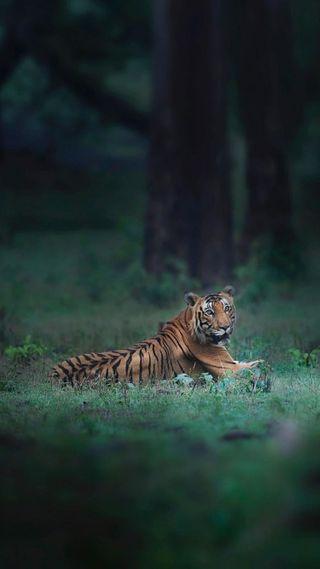 Обои на телефон хищник, тигр, природа, лес, кошки, животные, дикие