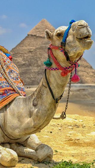 Обои на телефон пустыня, треугольник, пирамида, животные, египет, in egypt, hd, camel