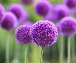 Обои на телефон цветы, фиолетовые, стандартные, oppo, miui