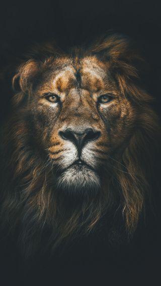 Обои на телефон лицо, лев, король, животные