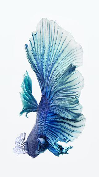 Обои на телефон питомцы, синие, рыба, животные, вода, айфон 6с, айфон, ios, hd, betta, 6s