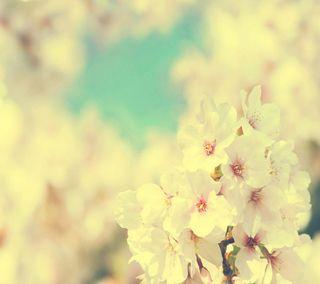 Обои на телефон сакура, цветы, s4