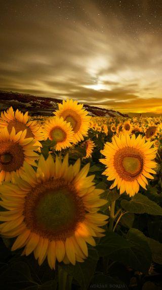 Обои на телефон подсолнухи, цветы, солнце, природа, поле, пейзаж, ночь, воспоминания, memories of the sun