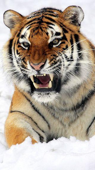 Обои на телефон тигр, 6 plus