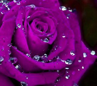 Обои на телефон естественные, цветы, фиолетовые, романтика, розы, приятные, природа, новый, любовь, purple rose, love