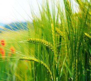 Обои на телефон пшеница, макро, абстрактные, whaet
