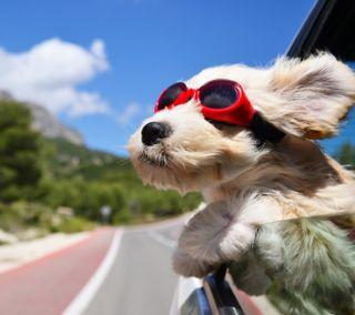 Обои на телефон питомцы, собаки, прекрасные, очки, животные, ветер
