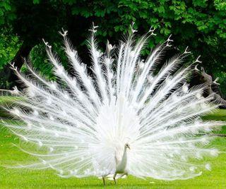 Обои на телефон white peacock, природа, белые, птицы, павлин