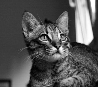 Обои на телефон лил, кошки, котята, loyal lil kitten