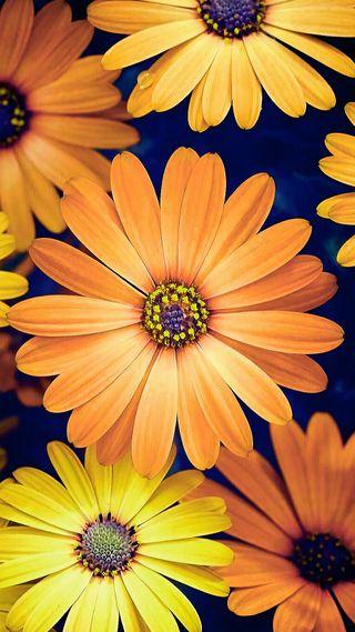 Обои на телефон маргаритка, цветы, природа, оранжевые, желтые, daisy flowers