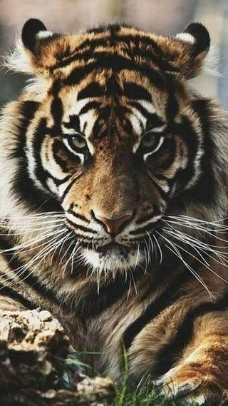 Обои на телефон трава, тигр, взгляд
