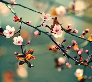 Обои на телефон цвести, сакура, листья, дерево, цветы, природа