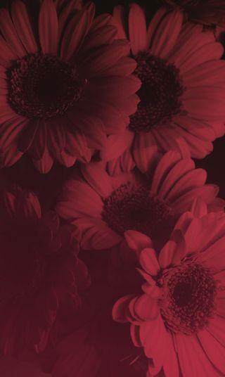 Обои на телефон лепестки, цветы, цветочные, фото, красые, red flower bonanza, hd, detail, closeup, botany