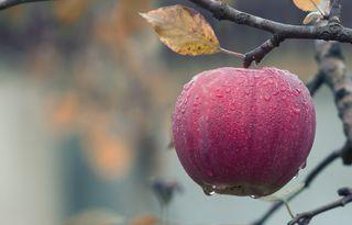 Обои на телефон apple, foggy apple, эпл, дерево, фрукты, дождь, туманные