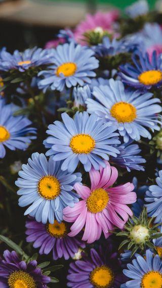Обои на телефон маргаритка, цветы, букет