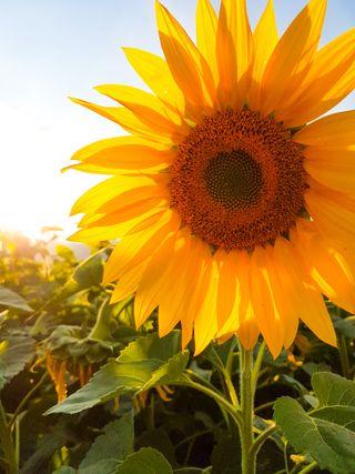 Обои на телефон подсолнухи, цветы, солнце, желтые, girasol, amarilla