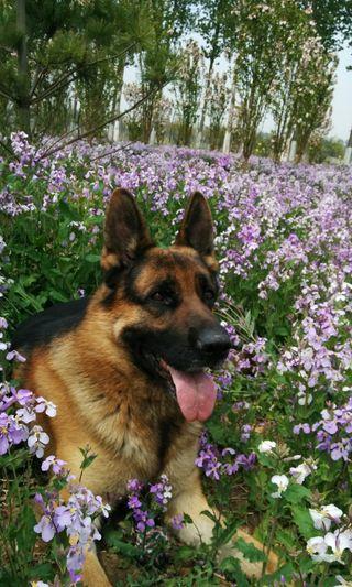 Обои на телефон немецкие, цветы, фиолетовые, собаки, весна, german shepherd
