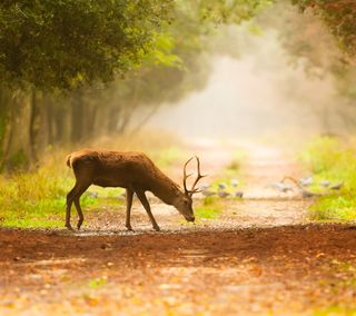 Обои на телефон олень, деревья