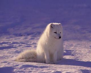 Обои на телефон лиса, собаки, зима, животные, arctic