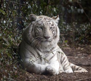 Обои на телефон хищник, тигр, природа, животные, дикая природа, белые