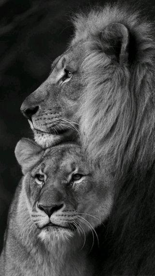 Обои на телефон лев, leoni, icio